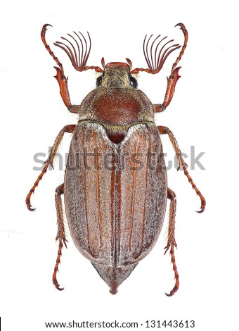 Male specimen of Melolontha hippocastani cockchafer, isolated on white background - stock photo