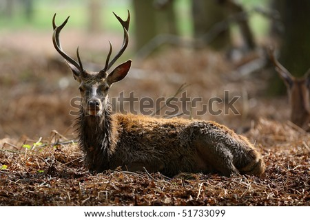 Male stag deer resting in Richmond Park, England - stock photo