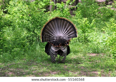 Male Tom Turkey Displaying Full Feather Spread - stock photo