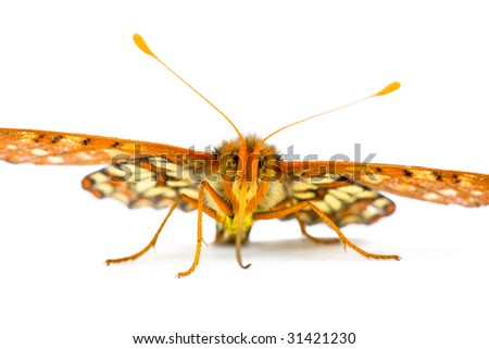 Male Variable Checkerspot Butterfly, Euphydryas chalcedona, Isolated on White - stock photo