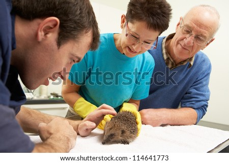 Male Veterinary Surgeon Examining Rescued Hedgehog In Surgery - stock photo