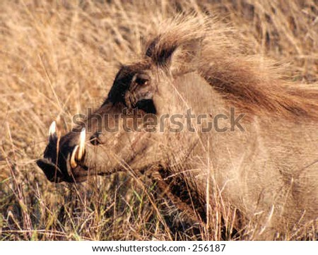 Male warthog in the African bush - stock photo