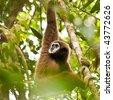 Male White-handed Gibbon Eating Leaves in the Jungles of Phuket, Thailand. - stock photo