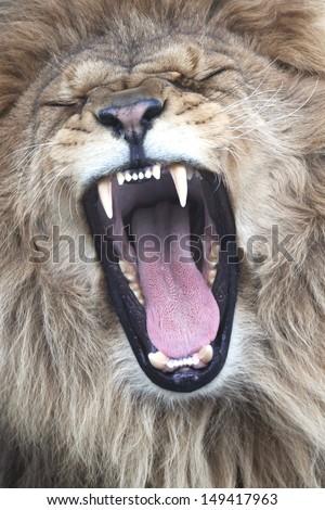 Male White Lion - stock photo