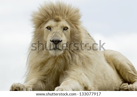 Male white lion lying and staring while looking very hungry - stock photo