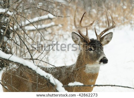 Male white tailed Deer in the forest in winter - stock photo