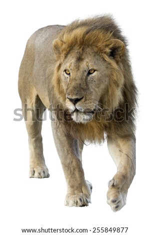 Male wild african lion in white background - stock photo