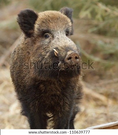 Male wild boar sniffing for danger - stock photo