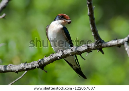 Male Wire-Tailed Swallow with mud for nest building.  Ruaha National Park, Tanzania. - stock photo