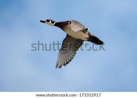 Male wood duck in flight with cloud and blue sky background in soft focus - stock photo