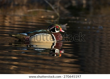 Male wood duck sitting on a small pond in midwest United States - stock photo