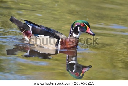 Male Wood Duck Swimming - stock photo