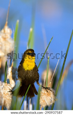 Male Yellow-headed Blackbird straddles two reeds in a Colorado marsh - stock photo
