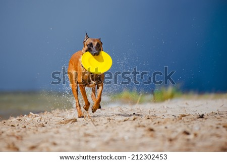 malinois dog running with frisbee - stock photo