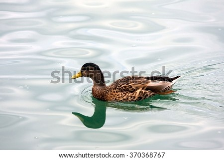 Mallard - Anas platyrhynchos - stock photo