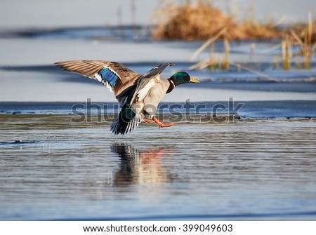 Mallard (Anas platyrhynchos) flying and landing into icy water at a frozen lake in the spring in Finland. - stock photo