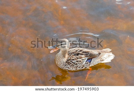 Mallard, Anas platyrhynchos, swimming in shallow water, high angle close up view with duck quacking bill wide open - stock photo