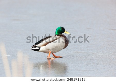 Mallard (Anas platyrhynchos).Wild bird in a natural habitat. Russia, Moscow, Timirjazevsky park. - stock photo