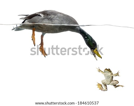 Mallard diving to catch a frog - stock photo