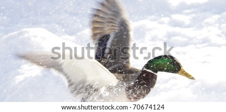 Mallard, duck - stock photo