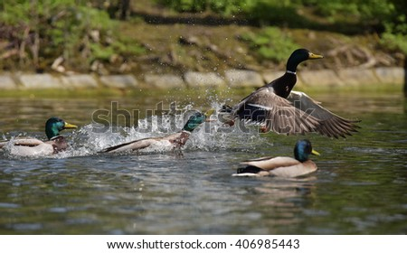 Mallard, Duck, Anas platyrhynchos - stock photo