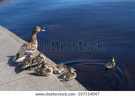 mallard duck and baby duck - stock photo