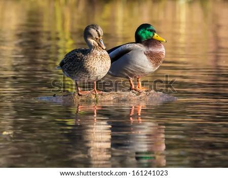 Mallard duck female and male - stock photo
