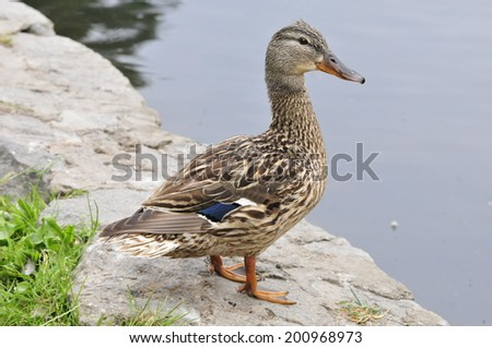Mallard duck, female. Bird. - stock photo