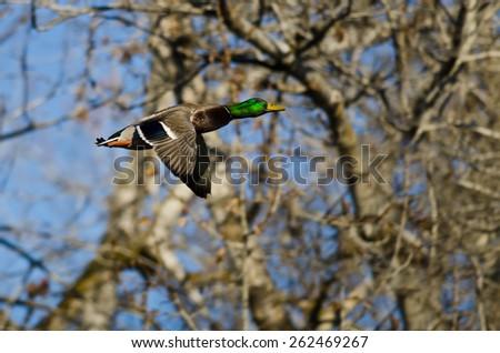 Mallard Duck Flying Through the Woods - stock photo