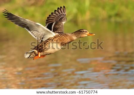Mallard duck in flight - stock photo
