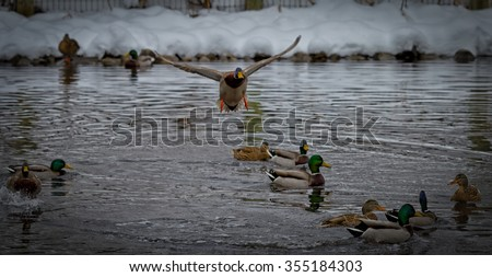 Mallard duck landing on a pond with other ducks in Willard Farm in Murray Utah USA. - stock photo