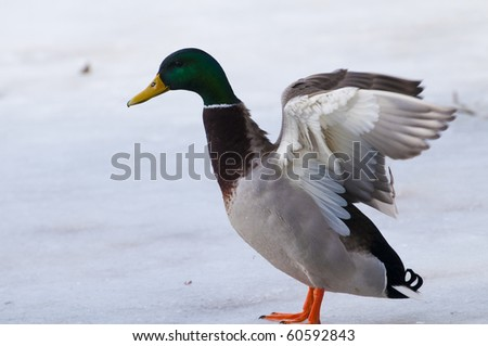 Mallard Duck, Male, on ice - stock photo