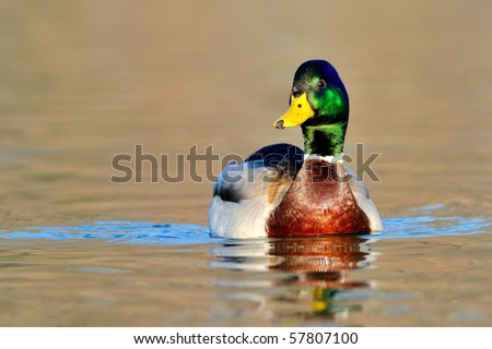 mallard duck on the lake - stock photo
