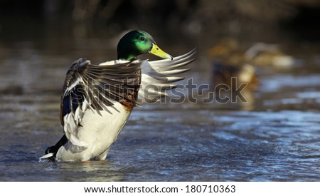 mallard duck on the river - stock photo
