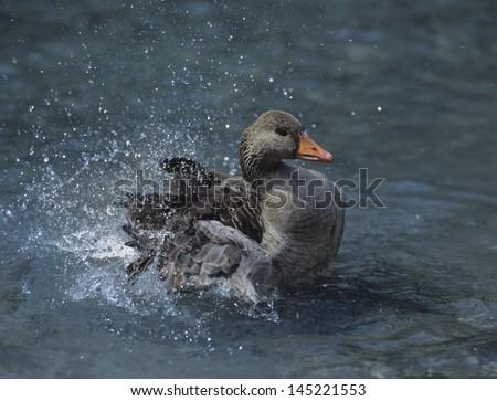 Mallard duck splashing in water - stock photo