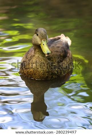 Mallard Duck Swimming on a River - stock photo