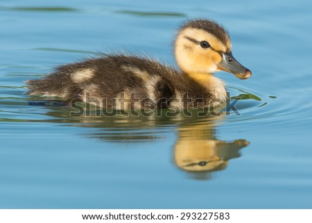 Mallard Duckling swimming in the open water. - stock photo