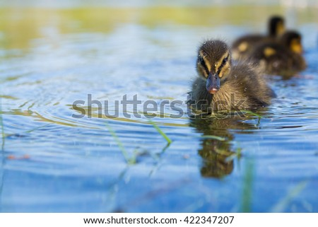 mallard ducklings swimming on a lake - stock photo
