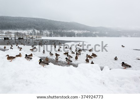 Mallard ducks on frozen lake Titisee in the Black Forest in Germany - stock photo