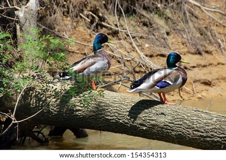 mallard ducks sunning on a fallen tree - stock photo