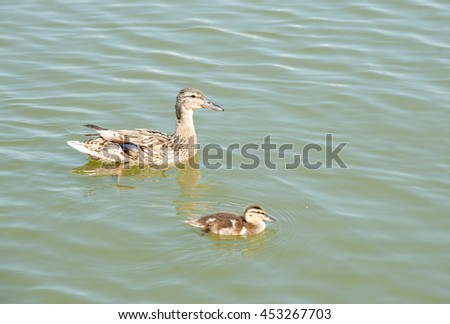 Mallard (female) and duckling swimming in the water - stock photo