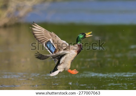 Mallard flying above a pond - stock photo