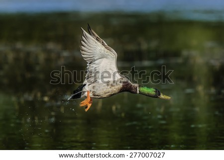 Mallard flying over the water - stock photo