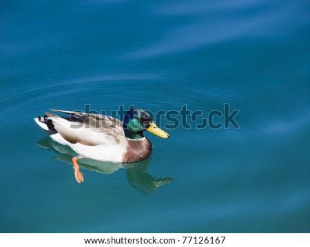 Mallard male duck on blue lake - stock photo