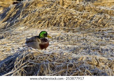 Mallard perched on brown grass. - stock photo
