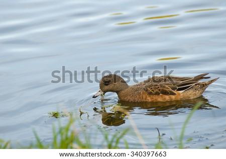 Mallard searching for fish - stock photo