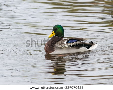 Mallard Swimming - stock photo