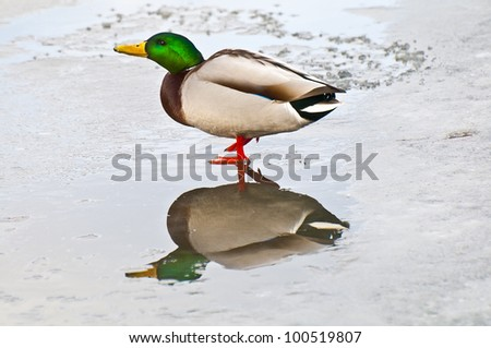 Mallard walking in shallow frozen pond - stock photo