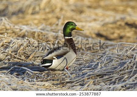Mallard walking on grass. - stock photo