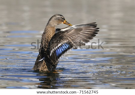 Mallard, Wild Duck, Anas platyrhynchos, Female - stock photo